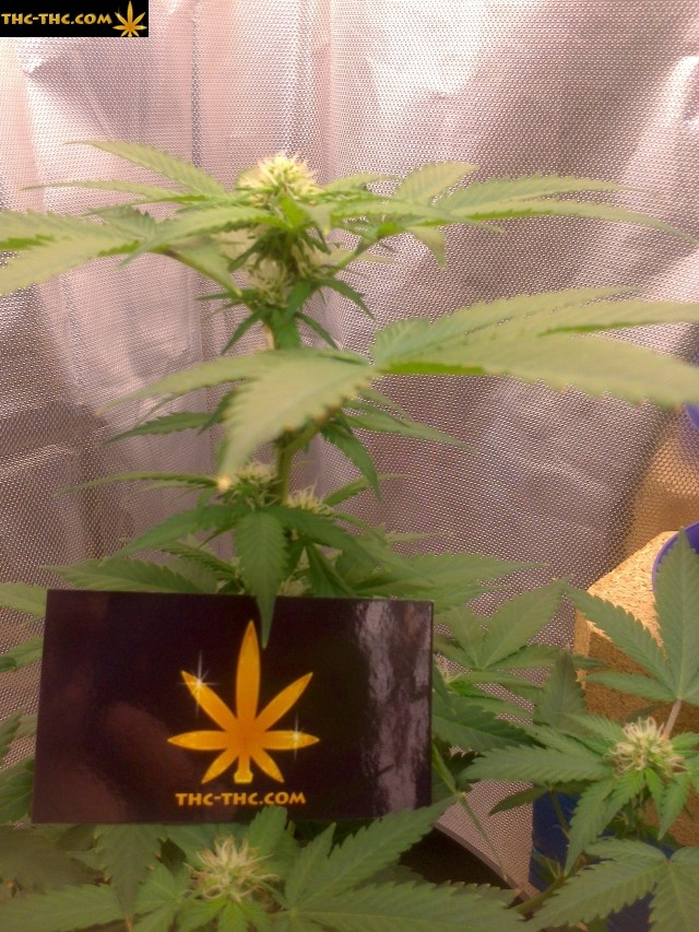 galeria, foto, marihuany, thc, thc-thc
